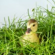 Manard in grass — Stock Photo