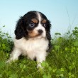 Spaniel in grass — Stockfoto