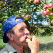 ������, ������: Old farmer tasting apples