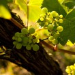 Spring grapevine — Stock Photo