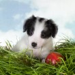 Border-Collie Welpen im Gras — Stockfoto