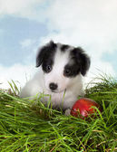 Border collie puppy in grass — Stock Photo