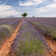 Provence lavender field — Stock Photo