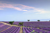 Endless rows of lavender — Stock Photo