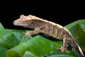 Crested Gecko — Stock Photo
