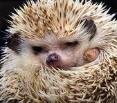 Pygmy hedgehog — Stock Photo