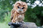 Young Tawny Owl — Stock Photo