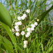 Stock Photo: Lily-of-the-valley in grass