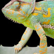 Stock Photo: Yemen Veiled Chameleon