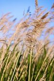 Blowing Reeds — Stock Photo