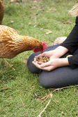Chicken feed — Stock Photo