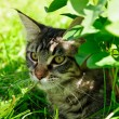 Tabby cat in grass — Stock Photo #8641480