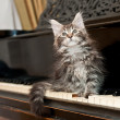 Maine coon kitten on a piano — Stock Photo