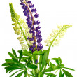 Lupine — Stock Photo #8642576