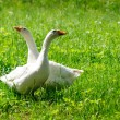 Two geese — Stock Photo #8642692