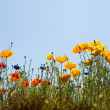 Stock Photo: Californigolden poppy and cornflowers