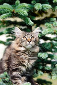 Tabby kitten and fur-tree branches — Stock Photo