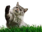 Gray maine coon cat on a grass — Stock Photo