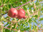 Two pomegranates on a branch — Stock Photo