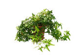 Ivy in pot — Stock Photo
