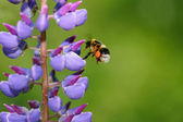 Bumblebee and blue lupine flower — Stock Photo