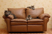 Three cats on a sofa — Stock Photo