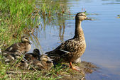Ducks family — Stock Photo