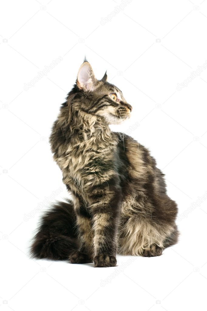 Maine coon kitten isolated on white background  Stock Photo #8645687