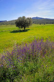 Springtime: old olive tree and wildflowers — Foto Stock