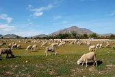 Flock of sheep, spanish farming in Castilla - La Mancha — Stock Photo