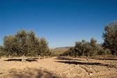 Olijfbomen plantage in spanje. — Stockfoto