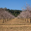 Almond trees flowering - Stock Photo