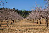 Almond trees flowering — Foto Stock