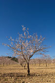 Almond trees in flower — Stock Photo