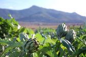 Ripe artichokes — Stock Photo