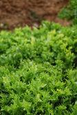 Lettuce detail — Stock Photo