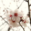 Almond flowers - Stock Photo