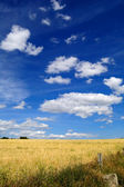 Harvest time - Ripe wheat field — Stock Photo