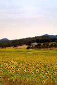 Sunflowers field and farmhouse — Stock Photo