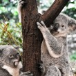 Koalas in a tree — Stock Photo