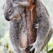 Koalhaving rest — Stock Photo #10470476