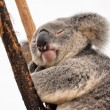 Koala having a rest — Stock Photo #10470499