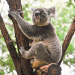 Koala in a tree — Stock Photo #10470600