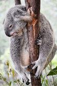 Koala tomando un descanso — Foto de Stock