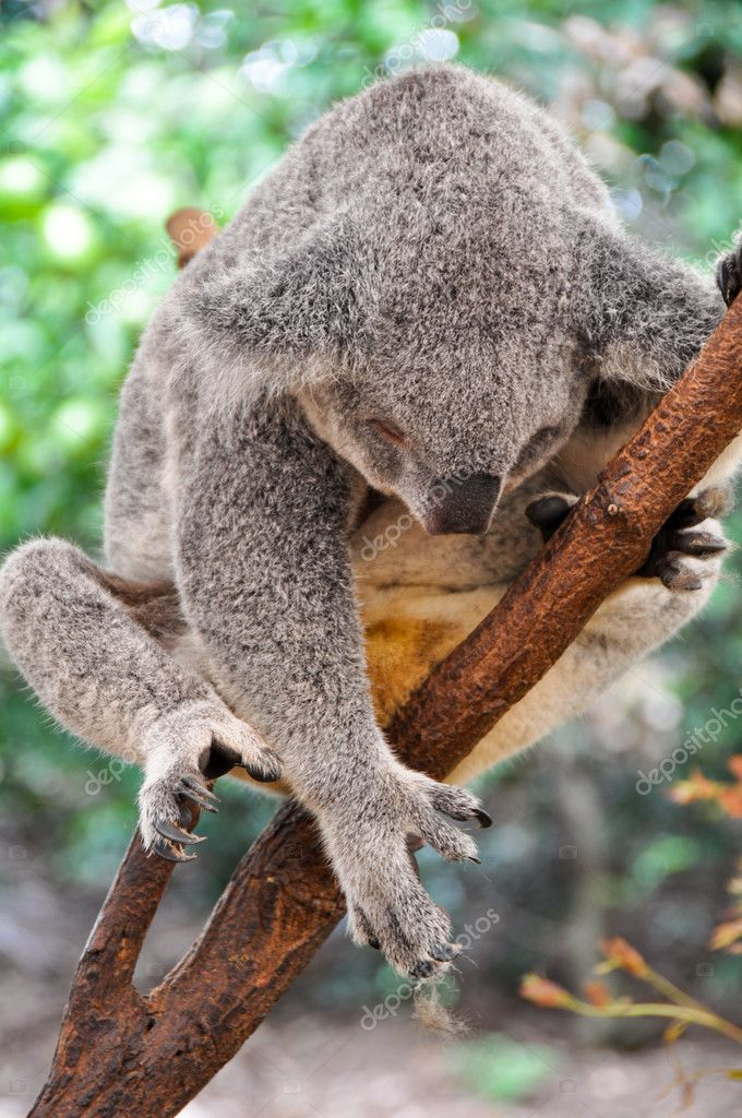 Koala having a rest — Stock Photo #10470548