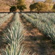 Agave field in Tequila, Jalisco (Mexico) — Stock Photo