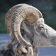 Wild bighorn sheep, Banff (Canada) — Stock Photo