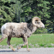 Stock Photo: Wild bighorn sheep, Banff (Canada)