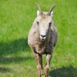 Stock Photo: Baby bighorn sheep, Banff (Canada)