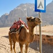 Camel in Wadi Rum desert (jordan) - Stock Photo